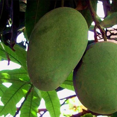 langara mango